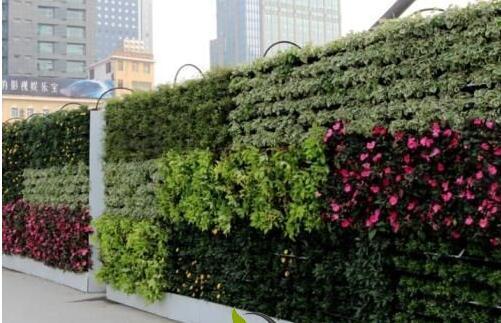 垂直绿化植物成活率